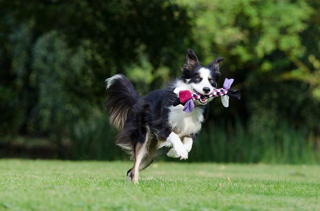 Самая умная порода собак Бордер-колли