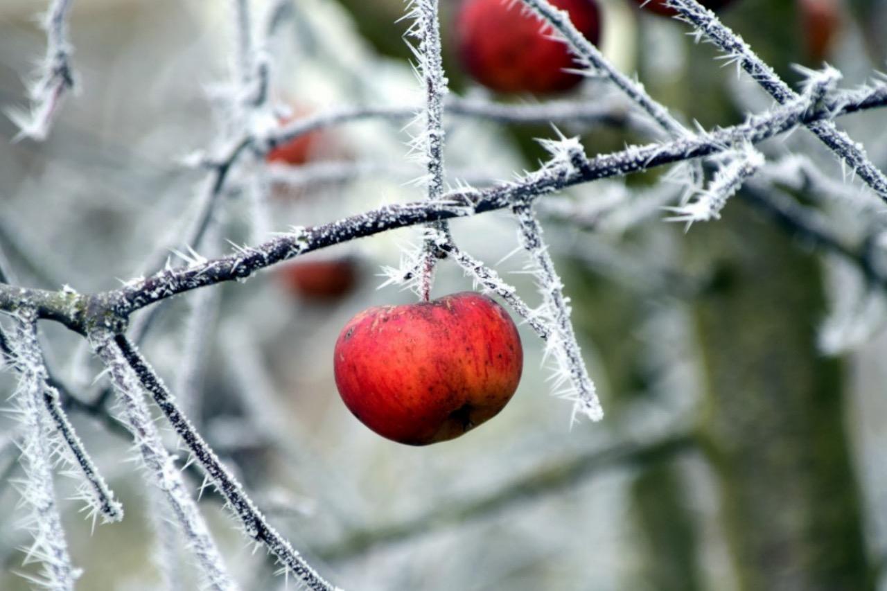 плодовые деревья зимой